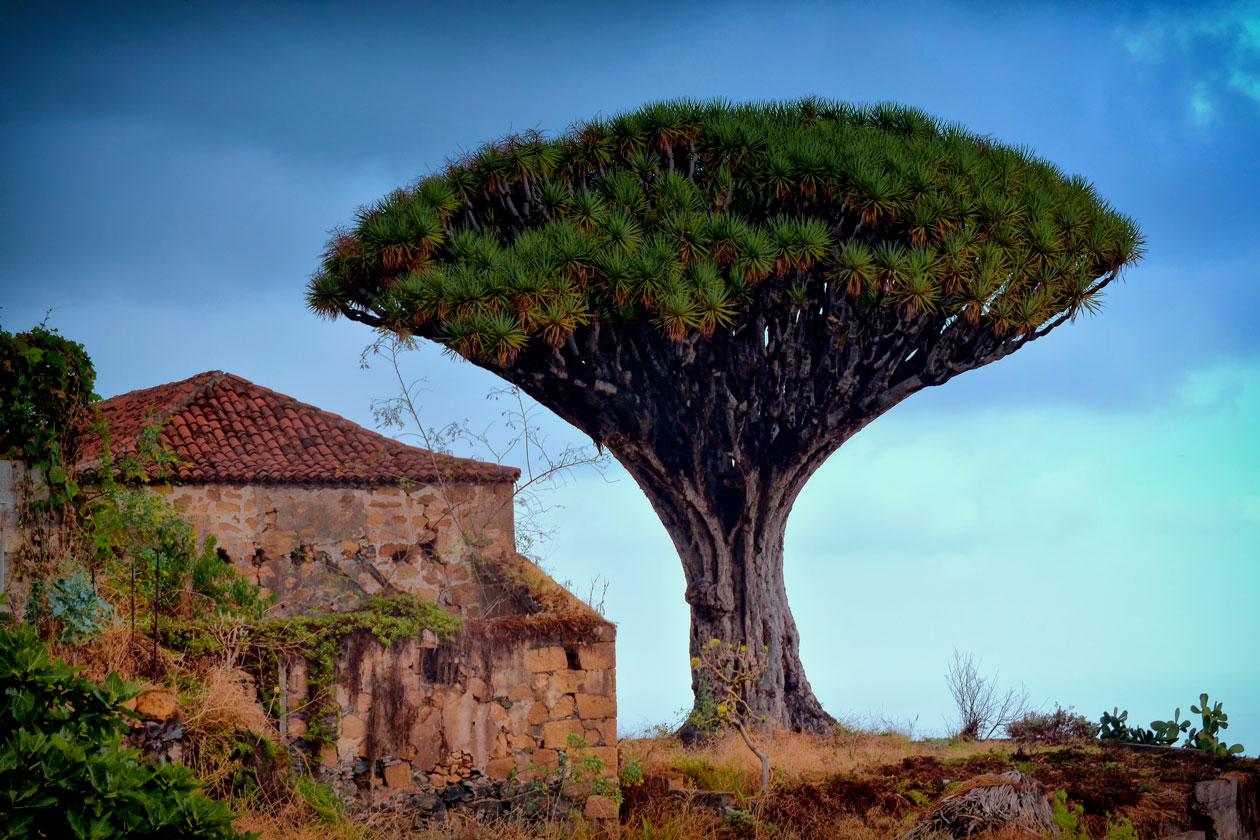 El Drago de Tenerife